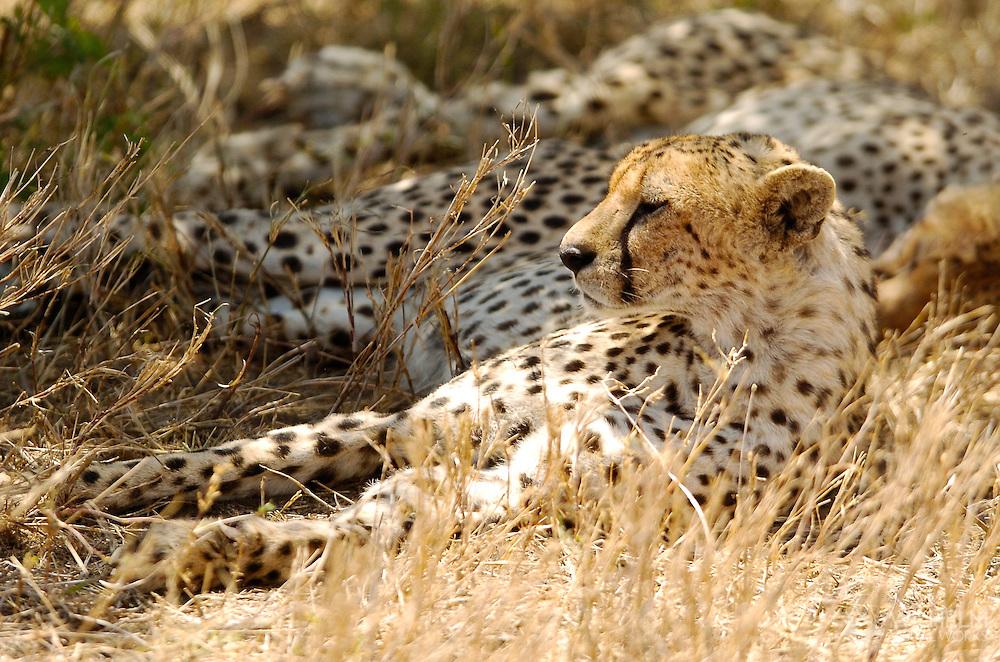 Cheetah resting in Serengeti National Park and Ngorongoro Crater Conservation Area in Tanzania, Africa. ©Brett Wilhelm