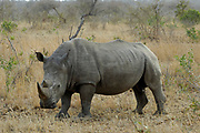White rhino, Ceratotherium simum, Limpopo, South Africa. There are roughly 20 000 of these rhino left on planet earth, but they are subjected to seriuos poaching. In South Africa one rhino is now poached every 11 hours to meet demand for rhino horn in China and Vietnam.