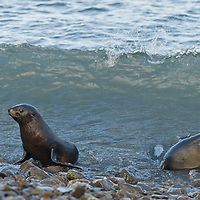 Young Southern Fur Seals come ashore on a rocky beach at Stromness Bay, South Georgia, Antarctica.