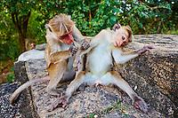 Sri Lanka, province du Centre, district de Matale, Dambulla, le temple d'Or classé Patrimoine Mondial de l'UNESCO, singes // Sri Lanka, Ceylon, North Central Province, Dambulla, Buddhist Cave Temple, monkeys