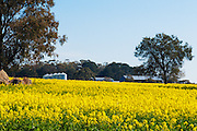Farm buildings  and trees in field of flowering canola crop in rural country Victoria, Australia. <br /> <br /> Editions:- Open Edition Print / Stock Image