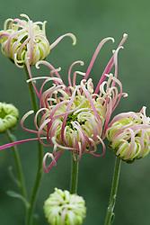Chrysanthemum 'Flyaway'