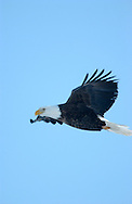 Photo Randy Vanderveen.Grande Prairie, Alberta.A bald eagle glides through the cloudless skies.