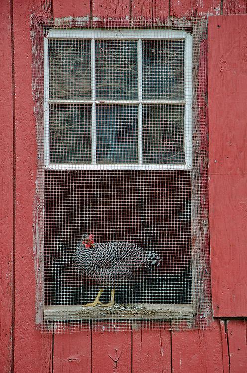 Chicken, Howell Living History Farm, Lambertville