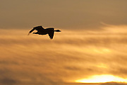 A Canada goose (Branta canadensis) flies over the Bowerman Basin in Grays Harbor County, Washington, at sunrise.