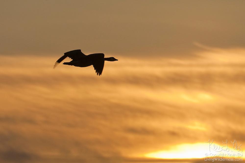 A Canada goose (Branta canadensis) flies over the Bowerman Basin in Grays Harbor County, Washington, at sunrise.