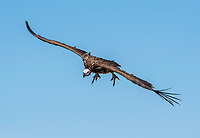 Lappet-faced Vulture, Torgos tracheliotus, approaches to land at a Cheetah kill in Serengeti National Park, Tanzania