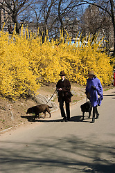 New York City, New York: Spring time with blossoms in Central Park  .Photo #: ny262-14704  .Photo copyright Lee Foster, www.fostertravel.com, lee@fostertravel.com, 510-549-2202.