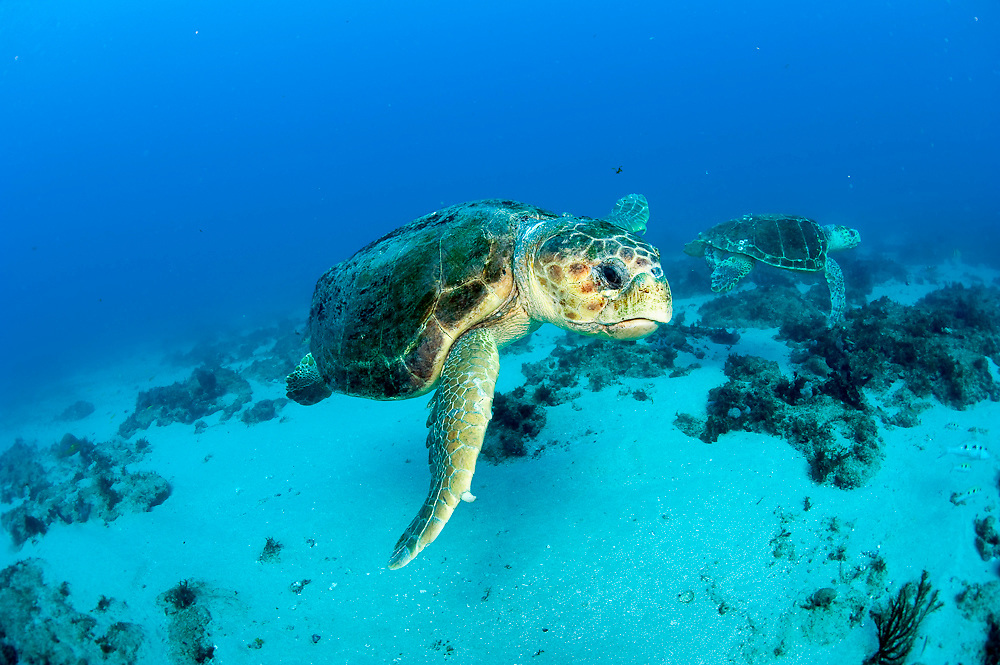 Male Loggerhead Sea Turtles (Caretta caretta) in Palm Beach County, FL. Florida is home to half of the world's population, and Palm Beach County is a major nesting location.