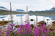 Fireweed (Epilobium angustifolium) grows tall pink flower stalks on Torsfjorden, on Moskenesøya (the Moskenes Island), in the Lofoten archipelago, Nordland county, Norway.