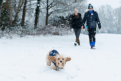 © Licensed to London News Pictures. 24/01/2021. LONDON, UK.  Dora the dog enjoying running about on a snow covered golf course as the first snow fall of the year arrives in Northwood, north west London.  Photo credit: Stephen Chung/LNP