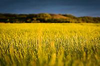 Grasflöt við Reyðarfellsskóg böðuð fallegri kvöldbirtu. Dimmblá ský á himni. A field of freshly cut grass near Reydarfellsskogur, bathed in glowing evening light. Blue clouds.