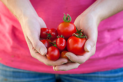 Handful of harvested tomatoes