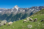 Sheep graze in the alpine meadows (alps) of Lötschental above Lauchernalp gondola lift station in canton Valais/Wallis, Switzerland, Europe. Kandersteg is a great base for hiking: an epic hike from Selden in Bern canton traverses Lötsch glacier and Lötschenpass (Lötschepass) to neighboring Lötschental in Valais canton; hiking poles are recommended for snow and rocks. The walk starts with a reserved Postbus ride from Kandersteg to Selden (in Gasterntal / Gasteretal / Gasterental), climbs 1350 meters, descends 925 m, and ends 13 km later at Lauchernalp lift station, which descends to Wiler in Lötschental, to reach Goppenstein via Postbus, back to Kandersteg via train. You can also reverse the route or stay overnight in dorms at Lötschepass hut.