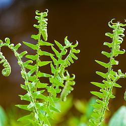 Christmas fern, Polystichum acrostichoides, in Durham, New Hampshire.