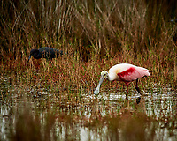 Roseate Spoonbill feeding. Black Point Wildlife Drive, Merritt Island National Wildlife Refuge. Image taken with a Nikon D3 camera and 400 mm f/2.8 lens (ISO 200, 400 mm, f/2.8, 1/1000 sec).