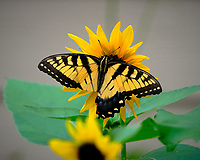 Tiger Swallowtail lost its Tail. Image taken with a Fuji X-T3 camera and 100-400 mm OIS lens