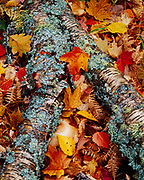 Northern hardwood forest floor with lichen-covered birch log and leaves of sugar maple, paper birch, red oak and bigtooth aspen, Keweenaw Peninsula, south of Copper Harbor, Michigan.