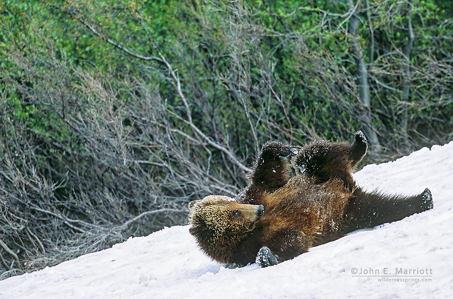 Grizzly bear playing on a snow slope