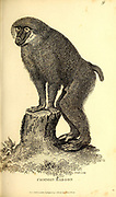 Common Baboon from General zoology, or, Systematic natural history Part I, by Shaw, George, 1751-1813; Stephens, James Francis, 1792-1853; Heath, Charles, 1785-1848, engraver; Griffith, Mrs., engraver; Chappelow. Copperplate Printed in London in 1800. Probably the artists never saw a live specimen