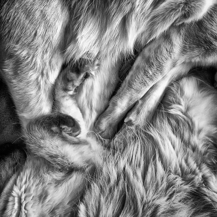 Close-up of two Siamese cats sleeping, legs entwined.