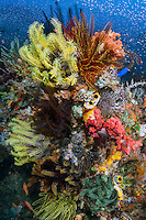 No Room at the Inn<br /> <br /> A coral head is packed with colorful crinoids, soft corals and tunicates.<br /> <br /> Shot in Indonesia