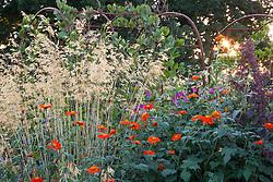Tithonia rotundifolia with Stipa gigantea and Atriplex hortensis in the cutting garden