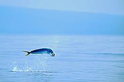 mahi mahi, dolphin fish, or dorado, Coryphaena hippurus, cow jumping, Kona, Big Island, Hawaii, USA, Pacific Ocean