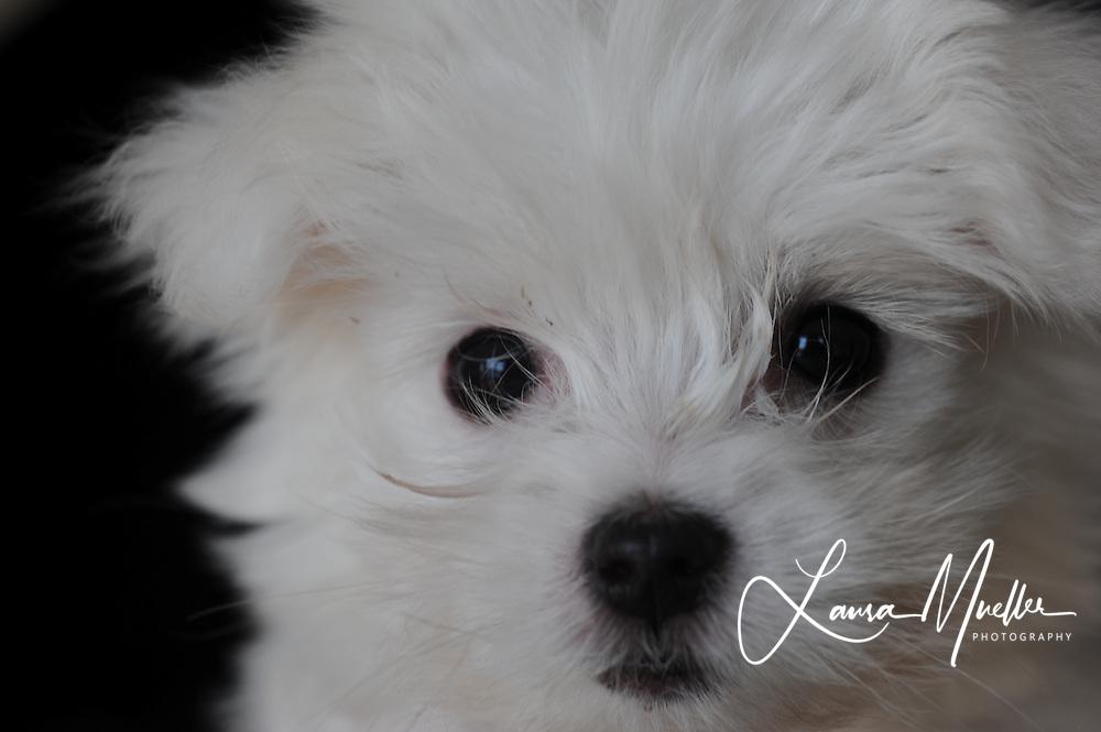 2/25/2010 Daisy - Maltese puppy. photo by Laura Mueller
