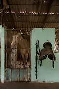 An albino Ahal Teke horse at private stables near Geok Depe