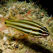 Striped Cardinalfish inhabit caves and crevices in reefs. Picture taken Fiji.