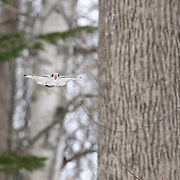 This is a Japanese dwarf flying squirrel (Pteromys volans orii) flying through the forest on a cold winter day. Usually nocturnal, these animals sometimes become active in the day during reproductive season.
