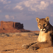 Mountain Lion (Felis concolor) adult in the canyonlands of Utah. Captive Animal