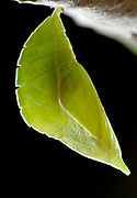 Purple Emperor Butterfly Pupae, Apatura iris, UK, hanging on oak leaf