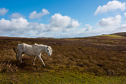 © Licensed to London News Pictures. 13/03/2021. Hay-on-Wye, Powys, Wales, UK. Welsh mountain ponies graze on high land in strong cold wind near Hay-on-Wye in Powys, Wales, UK. Photo credit: Graham M. Lawrence/LNP