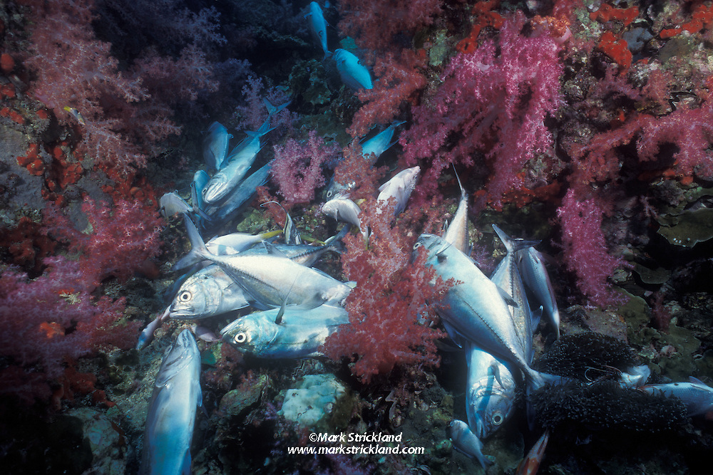These trevally are victims of blast fishing, and are destined to lay rotting on the bottom.  While illegal in most countries, this unsustainable fishing method is widespread and difficult to control. Blast fishing destroys delicate habitats and kills vast quantities of fish. Only the most valuable species are collected for market; the majority are wasted. Thailand, Andaman Sea