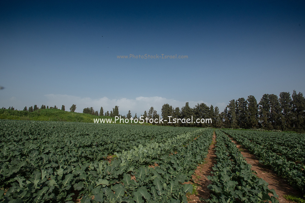 Kale (Brassica oleracea) plants grow in an Agricultural field. Photographed in Israel in spring, April