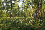 Wet patch in young forest overgrown with blooming meadowsweet or mead wort (Filipendula ulmaria) in late afternoon, near Virķēni, Northern Vidzeme, Latvia Ⓒ Davis Ulands   davisulands.com