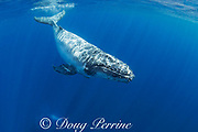 humpback whale calf, Megaptera novaeangliae, with whale lice ( cyamid amphipod ecto-parasites ) around mouth and on upper rostrum, and commensal remora fish on right pectoral fin, near Nomuka Island, Ha'apai group, Kingdom of Tonga, South Pacific