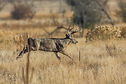A whitetail buck chases a doe through grassy habitat during the rut