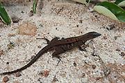 Teiid Lizard (Kentropyx calcarata)<br /> Rain Forest<br /> Iwokrama Reserve<br /> GUYANA<br /> South America<br /> RANGE: GUIANAS