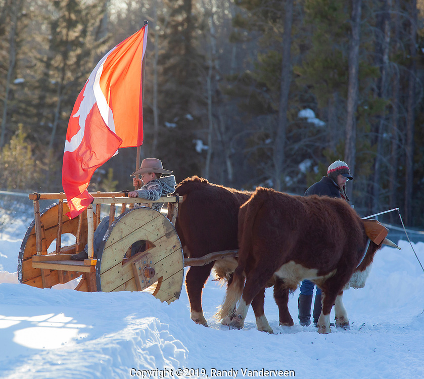 Photo Randy Vanderveen<br /> 2019-03-08<br /> Grande Prairie, Alberta<br /> Carlo Toews leads his oxen as the pull flag bearer Pacen Hemingson in s Red River cart during the national anthem at the Thunder in the Pines at Evergreen Park Friday evening. The inaugural skijoring event, which saw someone on skis or a snowboard pulled around by a horse or horse and rider on a closed course proved a popular event at the Foster's Peace Country Ag Classic for both spectators and participants.
