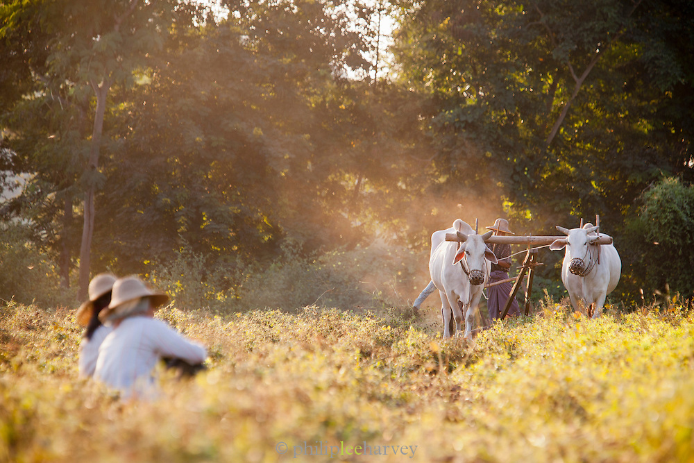 A farmer ploughs the fields with bullocks to dig up his crop of ground nuts. Seen here near the ancient city of Bagan, Myanmar