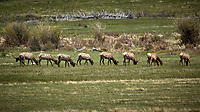 Nine Elk showing their rear ends. Rocky Mountain National Park. Image taken with a Nikon D2xs camera and 300 mm f/2.8 lens and TC-E 1.4 teleconverter (ISO 100, 420 mm, f/4, 1/1250 sec).