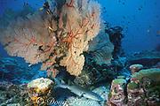 tawny nurse shark, Nebrius ferrugineus, asleep under ledge, Burma Banks, Thailand ( Andaman Sea )