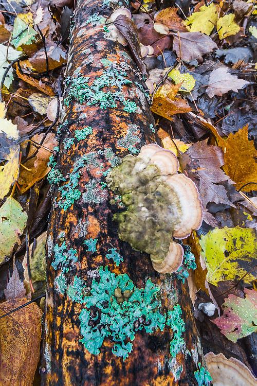 Decomposing log, autumn, Crawford County, Michigan, USA