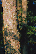 A black bear cub climbs a tree for a better view - Smoky Mountains N.P., Tennessee.