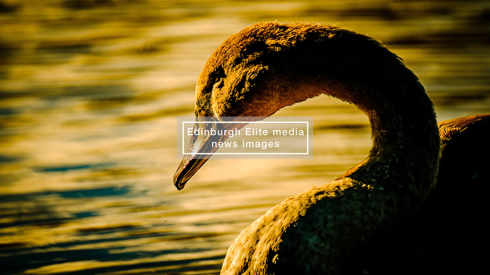 Portrait of a young cygnet at dusk<br /> <br /> (c) Andrew Wilson | Edinburgh Elite media