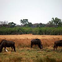 Africa, Botswana, Savute. Wildebeest of Chobe.