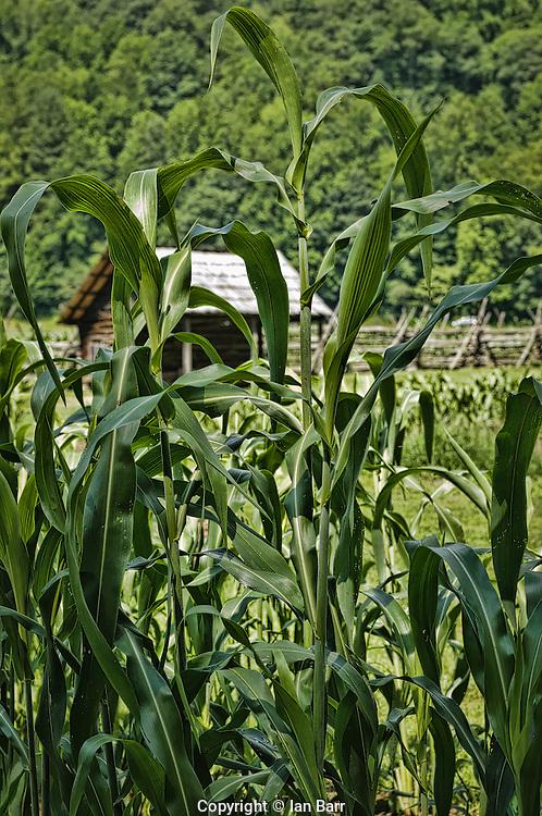 Heirloom Corn Plants,at mountain farm museum, Oconaluftee, Great Smoky Mountains National Park, North Carolina, USA.